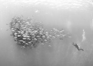 Diver photographing shoal of fish